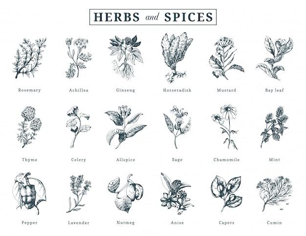Set di erbe e spezie disegnate. illustrazioni botaniche di organici, piante eco.