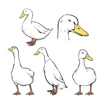 Set di illustrazioni vettoriali di anatre
