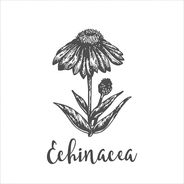 Pianta di echinacea purpurea. schizzo disegnato a mano di fiori selvatici. illustrazione vettoriale di erbe. design per etichette e packaging. disegno botanico inciso incisione a base di erbe d'epoca.