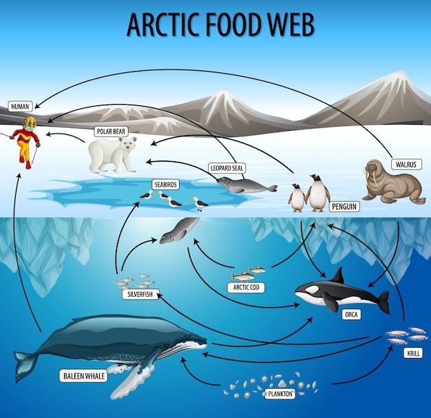 Poster di educazione della biologia per il diagramma delle reti alimentari