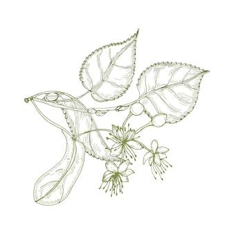 Elegante disegno di foglie di tiglio, bellissimi fiori che sbocciano o infiorescenze e boccioli. pianta utilizzata in fitoterapia disegnata a mano con linee di contorno su sfondo bianco.