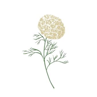 Eleganti fiori e foglie di ammi visnaga o stuzzicadenti disegnati a mano isolati su bianco
