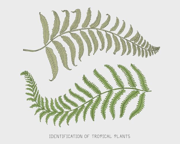 Foglie tropicali o esotiche incise, disegnate a mano, foglia di diverse piante dall'aspetto vintage. monstera e felce, palma con set di botanica di banana