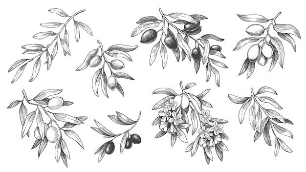 Set di rami di ulivo incisi
