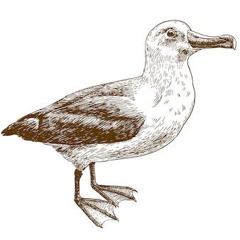 Incisione di disegno illustrazione di albatro dalle sopracciglia nere