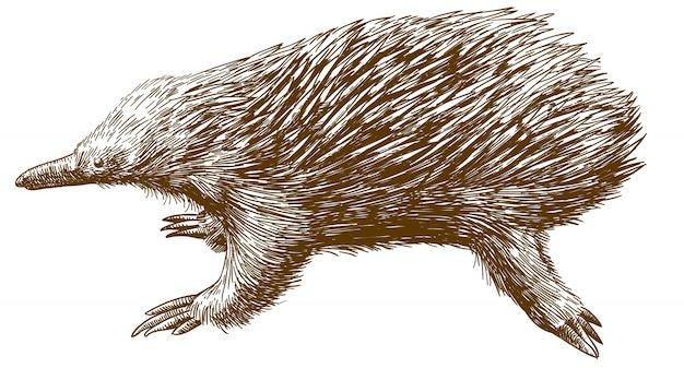 Illustrazione del disegno di incisione di echidna