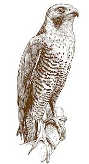 Illustrazione del disegno di incisione del falco