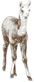 Incisione di disegno illustrazione del cucciolo di lama o alpaca o guanaco baby