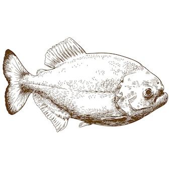 Illustrazione di disegno incisione di piranha