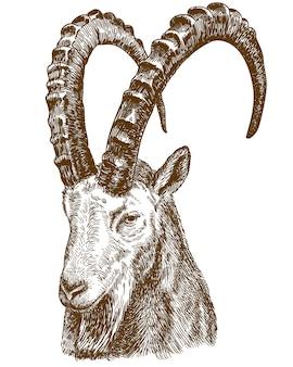 Illustrazione di disegno incisione di stambecco siberiano