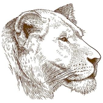 Illustrazione di incisione della testa di leonessa