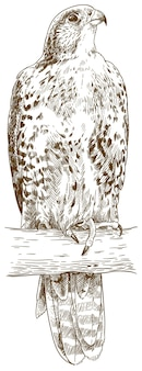 Illustrazione di incisione del falco saker