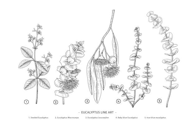 Disegni botanici disegnati a mano di ramo di eucalipto.