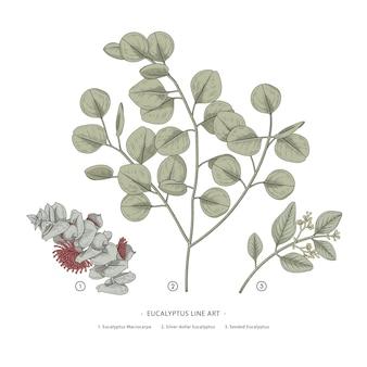 Ramo di eucalipto illustrazioni botaniche disegnate a mano.