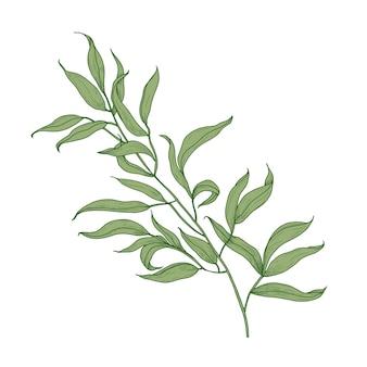Ramo di eucalipto con foglie verdi disegnati a mano su sfondo bianco. elegante disegno dettagliato di una parte della pianta, albero o arbusto.