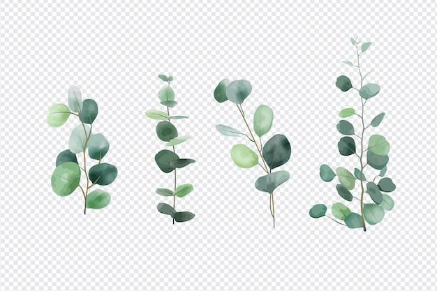 Foglie di eucalipto insieme isolato su sfondo trasparente