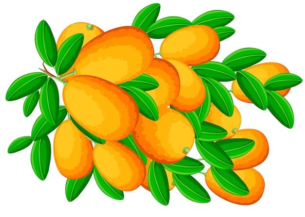 Kumquat di frutta esotica con foglie verdi. frutta fresca . illustrazione su sfondo bianco. ramo di kumquat.