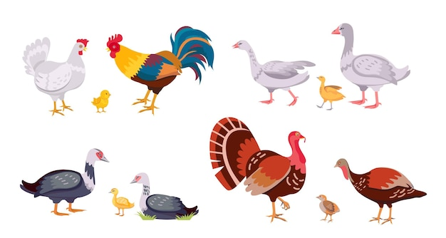 Pollame da fattoria, famiglia di uccelli domestici, gallina e gallo. tacchino con pulcino. oche, anatre, anatroccolo e pollo del fumetto. insieme di vettore del bestiame. uccelli del bambino e del genitore della campagna isolati su white