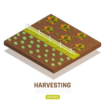 Fattoria con banner isometrica piantagione di zucche e cavoli