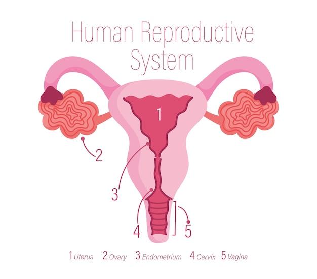 Sistema riproduttivo umano femminile, illustrazione di organi interni sani