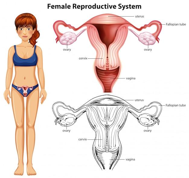 Sistema riproduttivo femminile su fondo bianco