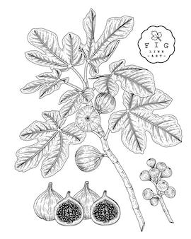 Illustrazioni botaniche disegnate a mano di frutta di fico.