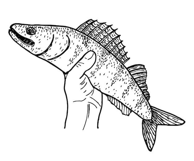 Pesce nello schizzo della mano del pescatore. il luccio catturato. concetto di pesca. per logo, illustrazione, biglietto o poster