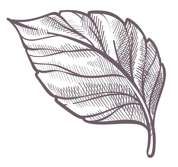 Fogliame e fogliame della natura, arbusti o cespugli, botanica forestale o boschiva. botanica incolore foglia isolata, decorazione per carta o striscione eco o emblema. contorno di schizzo monocromatico. vettore in stile piatto