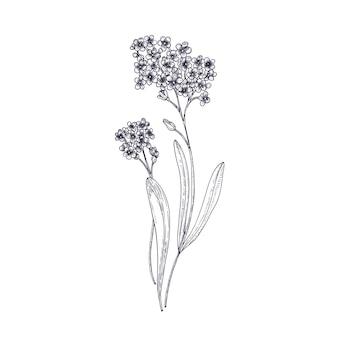 Fiori del nontiscordardime isolati su priorità bassa bianca. disegno dettagliato della pianta da fiore erbacea perenne selvatica. disegnato a mano contorno botanico realistico illustrazione vettoriale in elegante stile vintage.