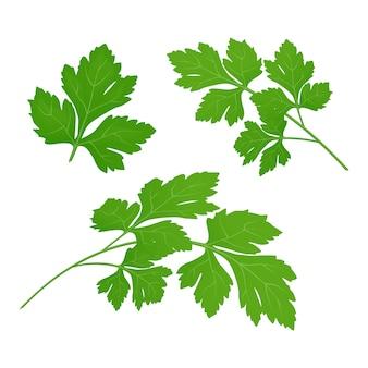 Foglie di prezzemolo verde fresco su sfondo bianco. prezzemolo isolato. illustrazione.