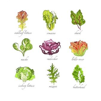 Set di erbe fresche, foglia di quercia, romaine, bietola, mache, radicchio, lollo, rosso, lattuga iceberg, mizuna, farfalle disegnate a mano illustrazioni