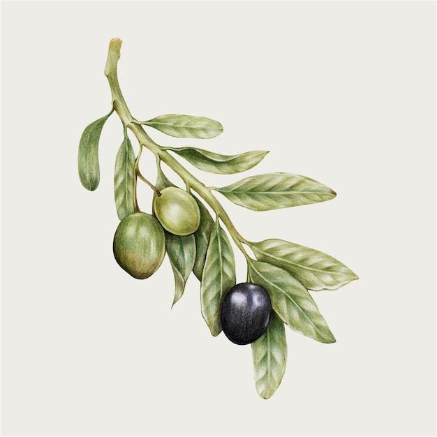 Disegnato a mano di vettore dell'illustrazione dell'oliva fresca