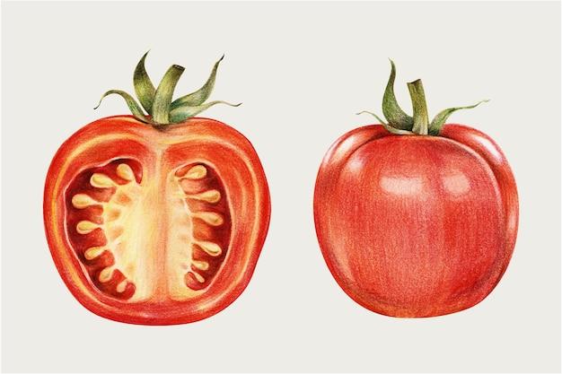 Disegnato a mano di vettore dell'annata di pomodoro fresco