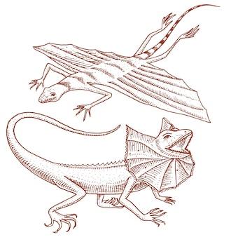 Lucertola dal collo arricciato, drago volante o agama in australia. animali selvatici in natura.