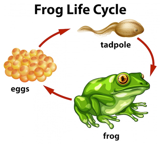 Un ciclo di vita della rana su fondo bianco