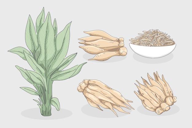 Galingale o illustrazione della radice del dito