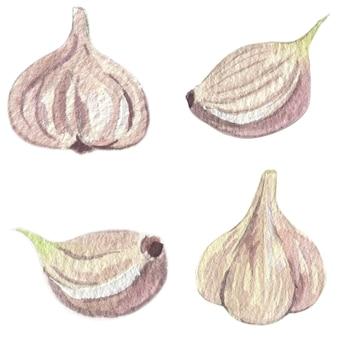 Raccolta dell'aglio. illustrazione dell'acquerello. elementi di vettore isolato.