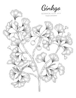 Illustrazione disegnata a mano botanica del ginkgo.