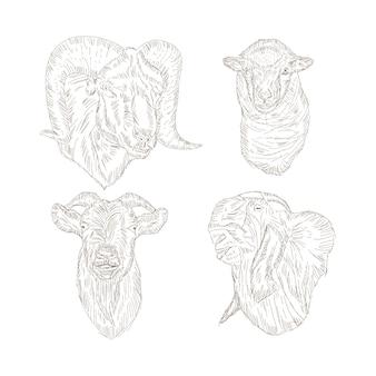 Schizzo di testa di capra, schizzo di disegno a mano di pecora.