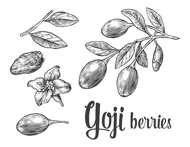 Bacche di goji su un ramo. illustrazione incisione vintage in bianco e nero.