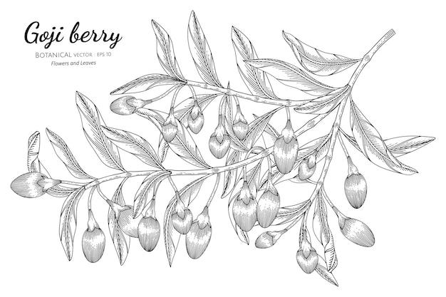 Illustrazione botanica disegnata a mano di frutta di bacche di goji con disegni al tratto su sfondi bianchi.