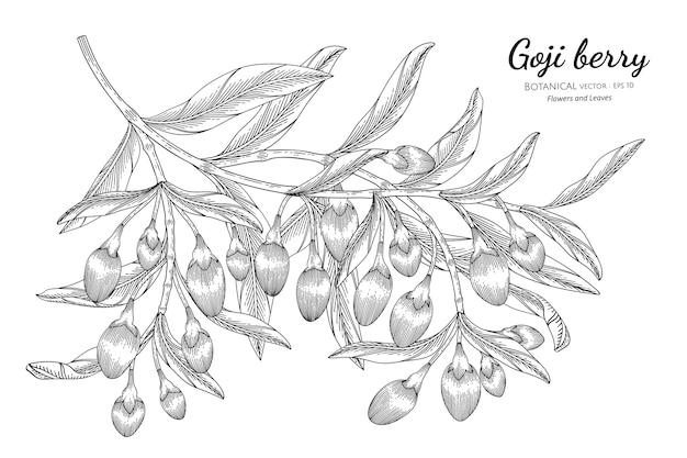 Illustrazione botanica disegnata a mano della frutta della bacca di goji