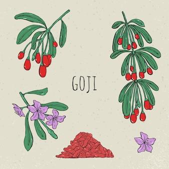 Goji su un set disegnato a mano ramo. raccolta fioritura, bacche secche.