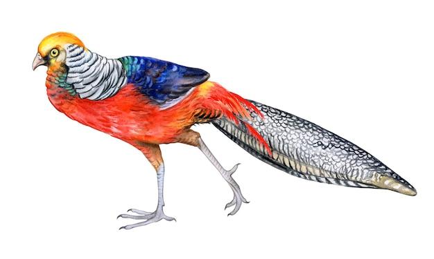 Uccello del fagiano dorato isolato su priorità bassa bianca. uccello del paradiso. acquerello. illustrazione. modello. immagine