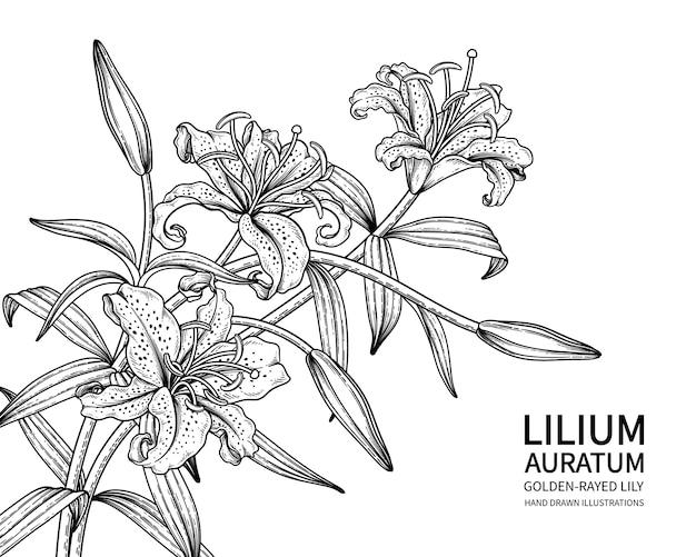 Golden rayed lily fiore isolato su bianco