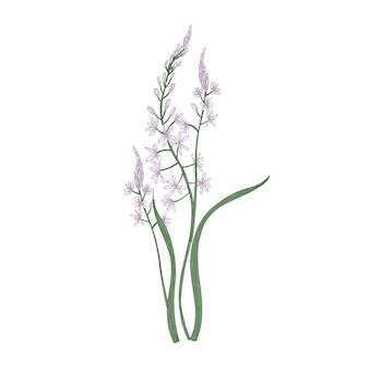 Camas splendidi o fiori di quamash isolati su priorità bassa bianca.