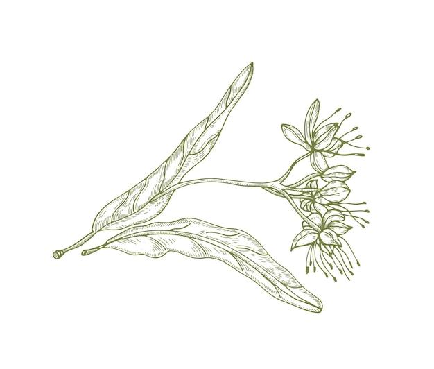 Splendido disegno di contorno di foglie e fiori o infiorescenze di tiglio. bella parte dell'albero utilizzata in fitoterapia disegnata con linee di contorno su sfondo bianco. elegante illustrazione vettoriale naturale.