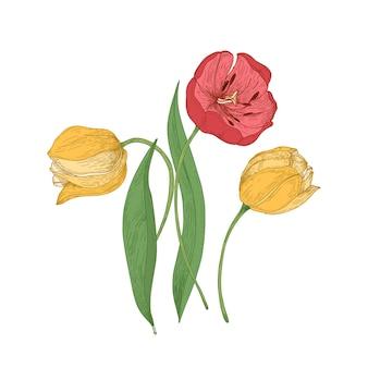 Splendidi fiori di tulipano isolati su sfondo bianco