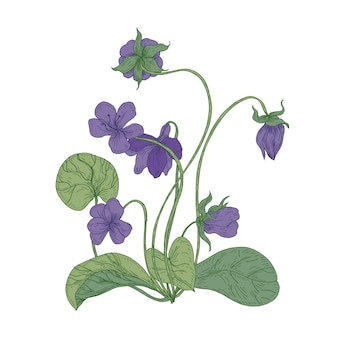 Splendidi fiori viola di legno isolati su priorità bassa bianca. disegno naturale della pianta perenne fiorita erbacea selvatica utilizzata in erboristeria. Vettore Premium
