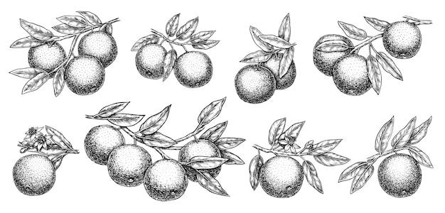 Ramo di pompelmo o arancia con foglie e agrumi